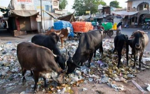 Indian cows produce toxic milk